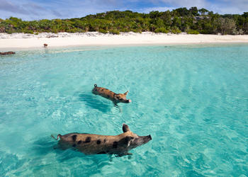 Pig_beach_-_bahamas_out_islands_of_exuma